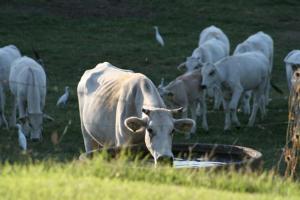 chianina pasture